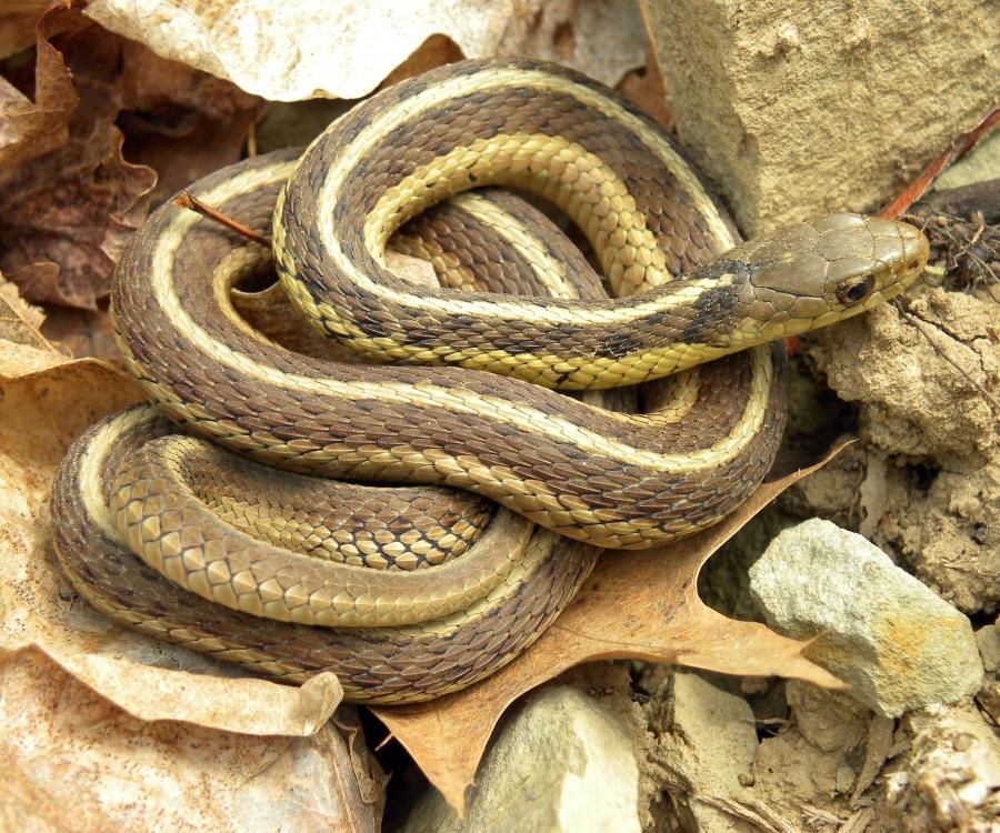 Baby Garden Snakes Photos