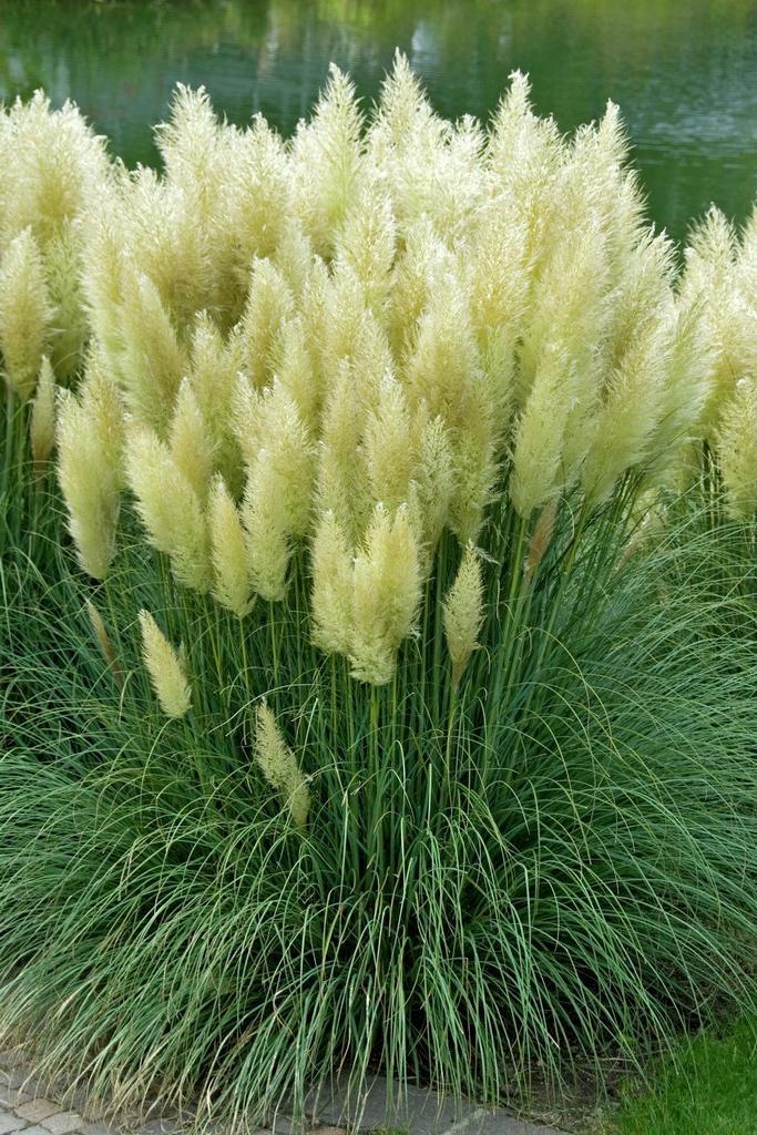 Garden grasses photos for Ornamental sea grass