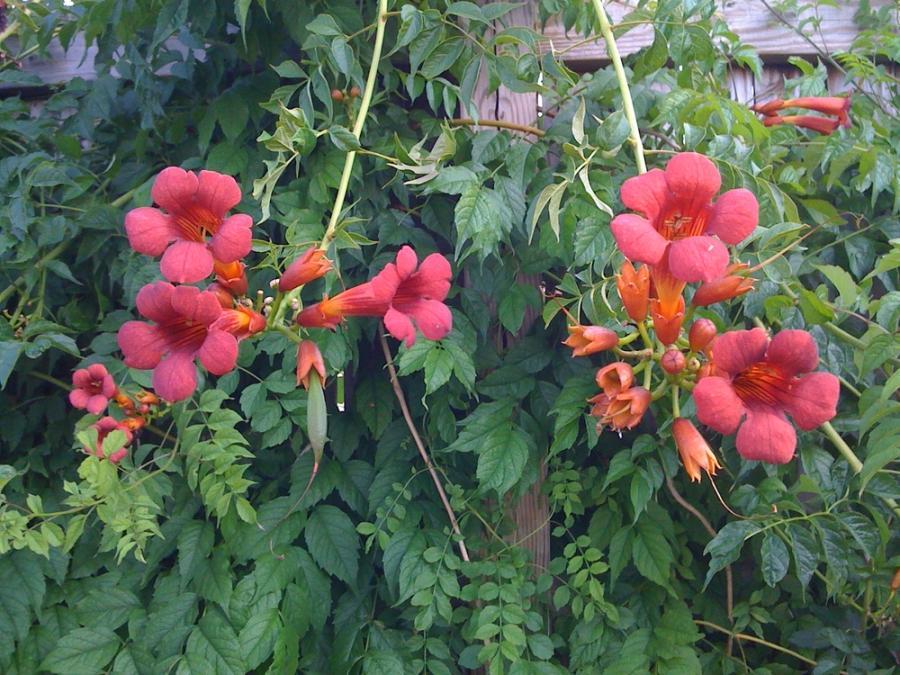 Цветы многолетники лианы