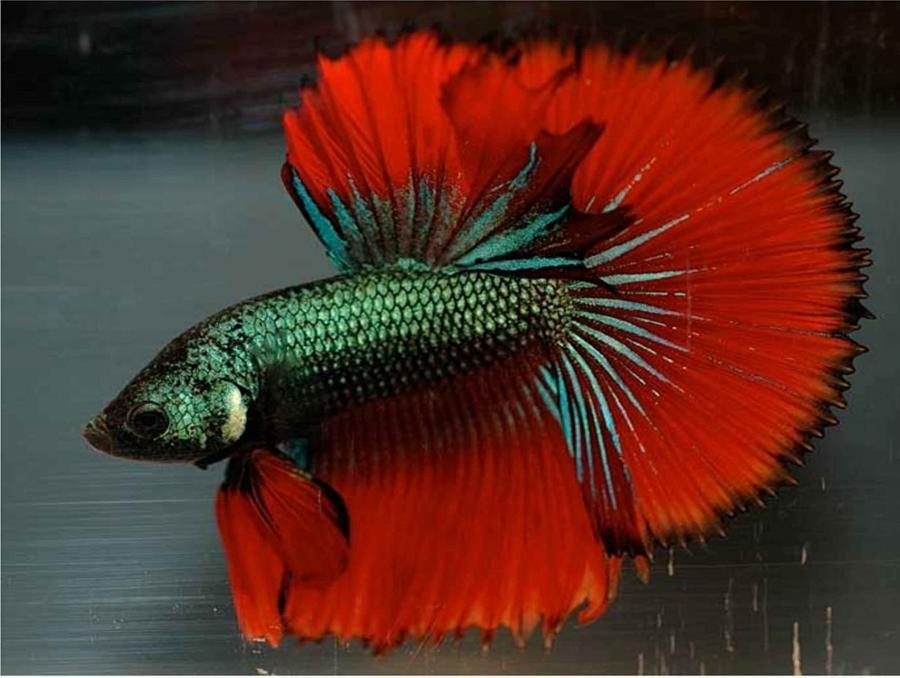 Aquarium fish disease photos for Betta fish fungal infection