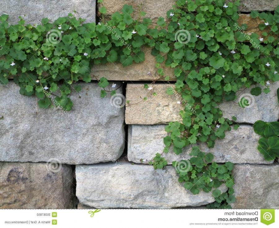 Climgin ivy on a stone wall background - with space for text.