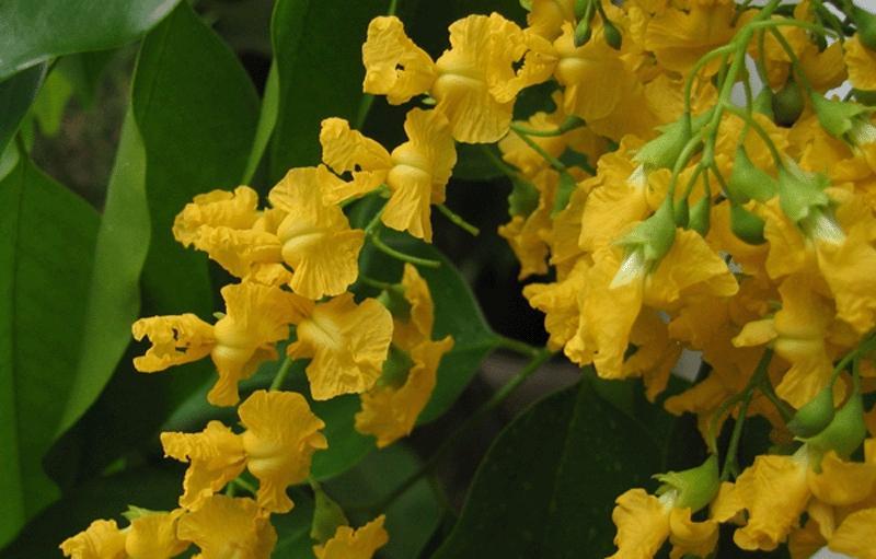 Padauk Flower Photos