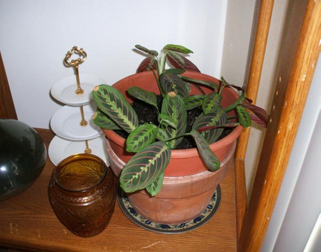 0ea1520701d3ff5b29f7e3b37b9ddc94 Palm Houseplants Identification on palm bushes identification, palm tree identification, indoor palm identification,