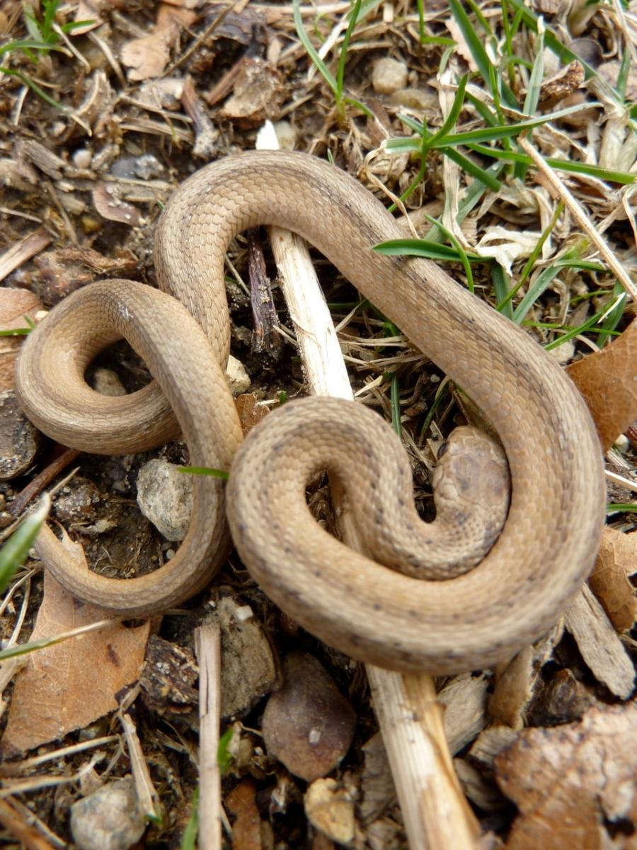 how to kill a baby brown snake
