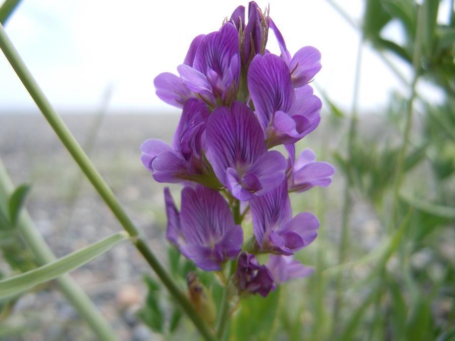 Alfalfa flowers photos
