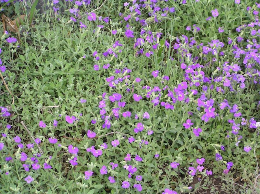 Purple flower ground cover weed round designs weeds primary 11 ground cover w purple flowers mightylinksfo