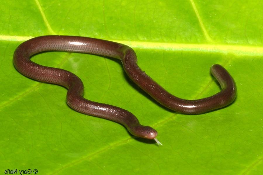 Florida Blind Snake Photo