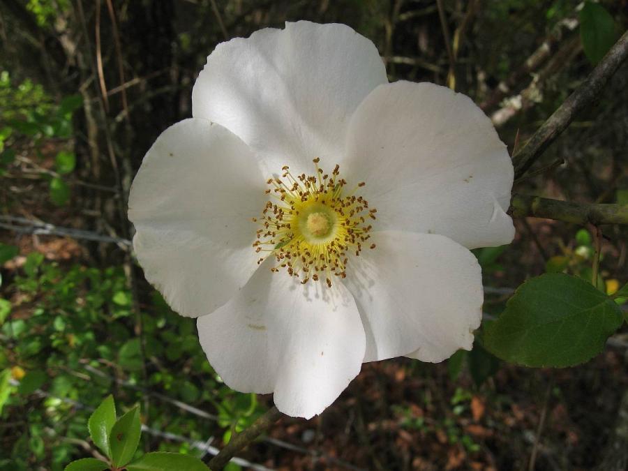 Cherokee rose flower photos for Cherokee rose
