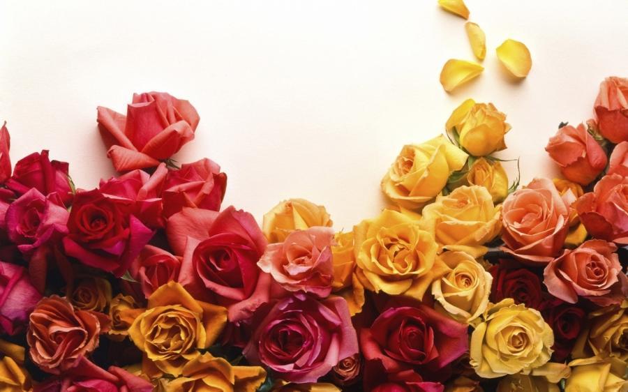 обои розы на рабочий стол 1366х768 № 648409 без смс
