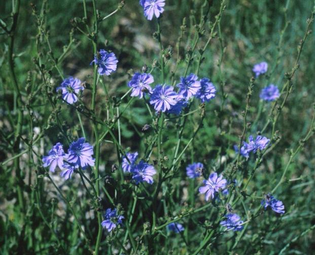 Weed With Blue Flowers Photo