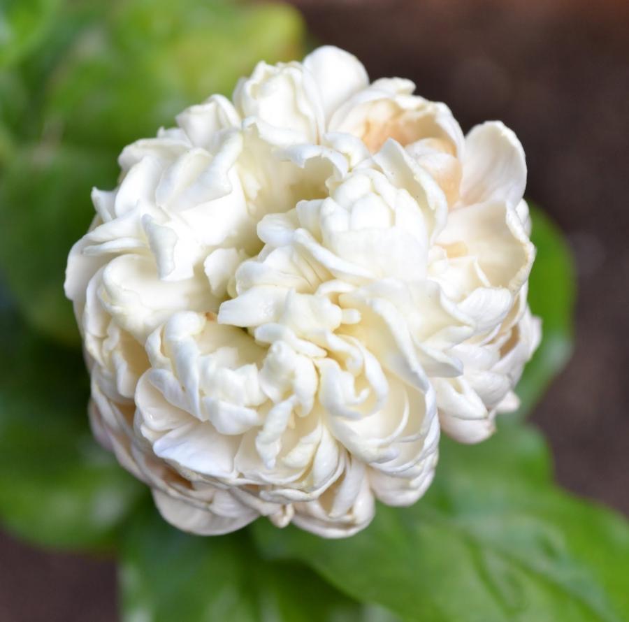 Beautiful Jasmine Flowers Photos