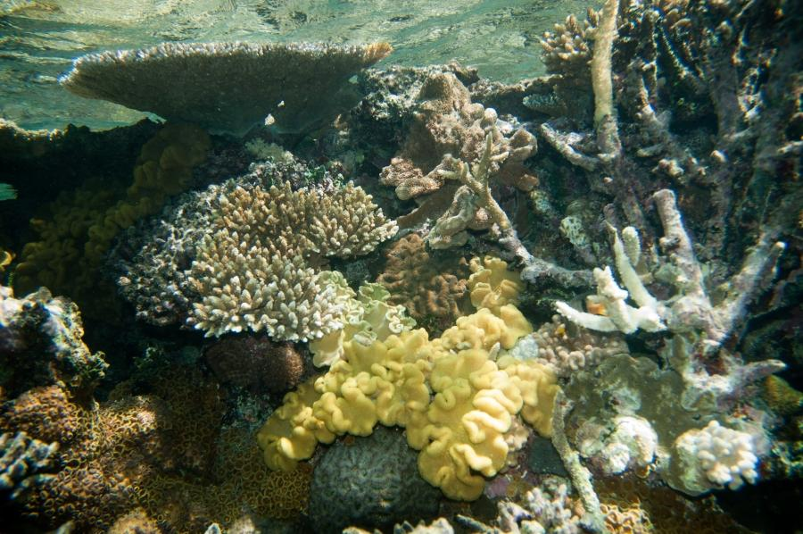 File:Yellow fiji leather coral Sarcophyton elegans on House Reef...
