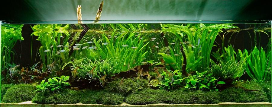 Aquascape Fish List : An Aquascape with Tall Aquatic Plants and Moss Live Planted source