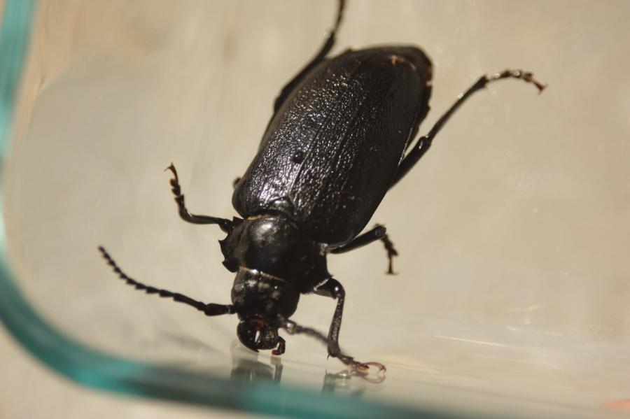 how to get rid of larder beetles