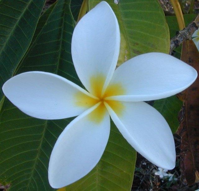 Photo Chameli Flower