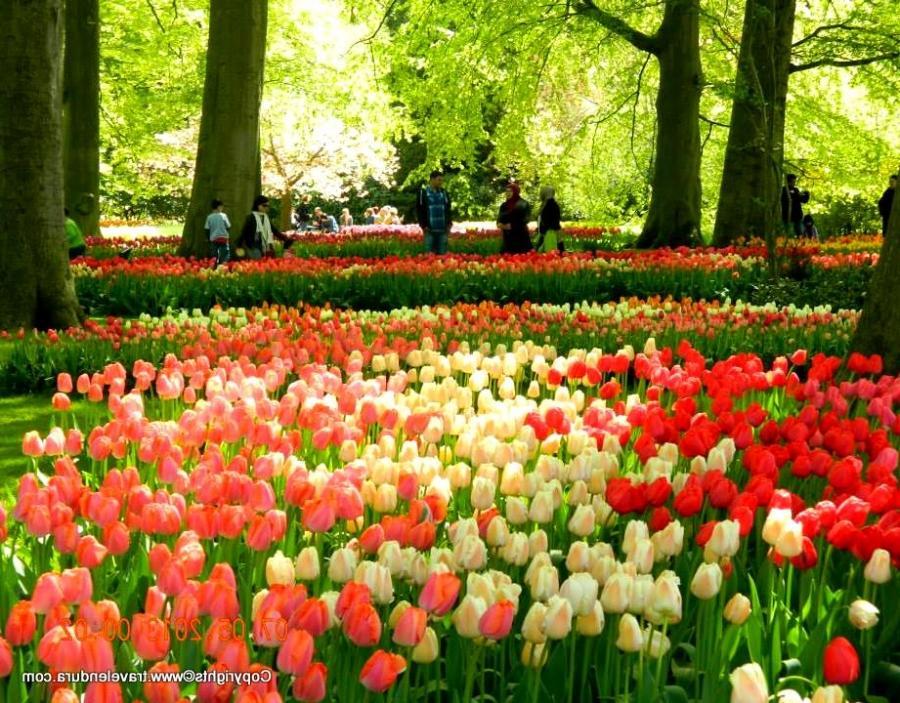 Amsterdam Tulip Garden Photos