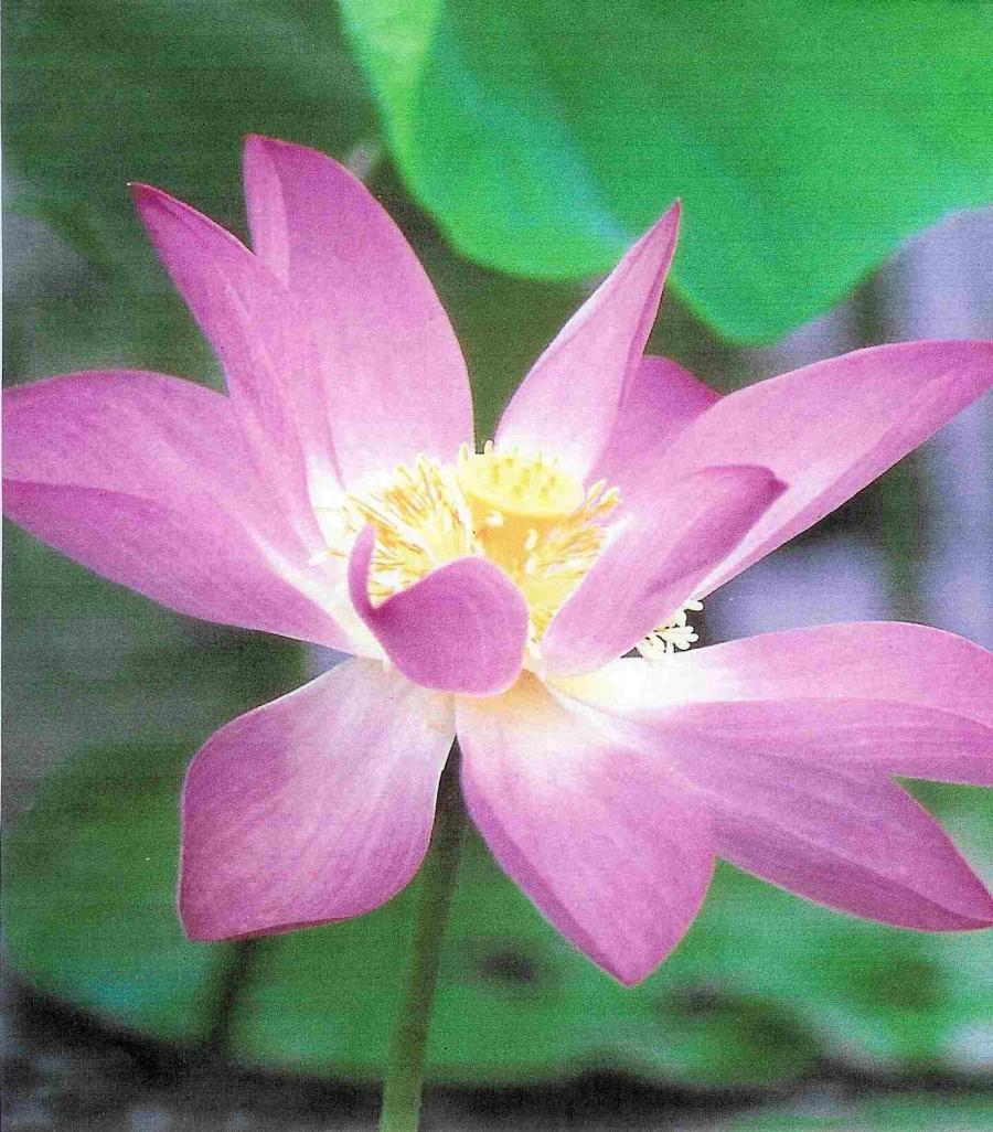 Photos Of Lotus Flower