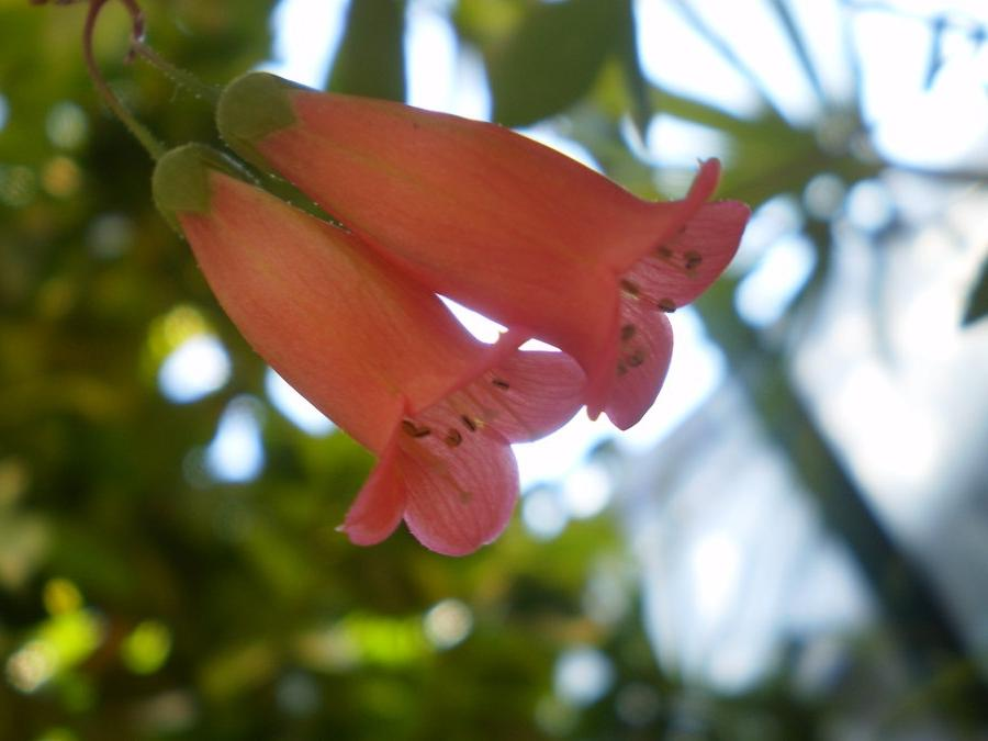Pink Bell Shaped Flowers Photos