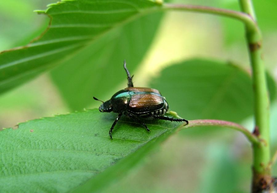 Japanese Beetle Garden Pest