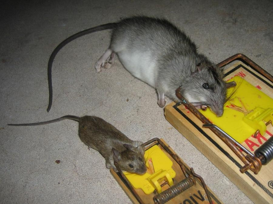 how to get rid of rats in the roof nz