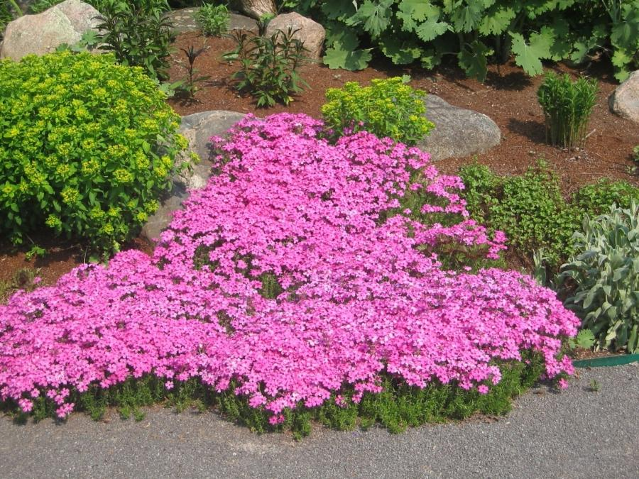 Flower garden plants photos for Perennial garden design zone 6