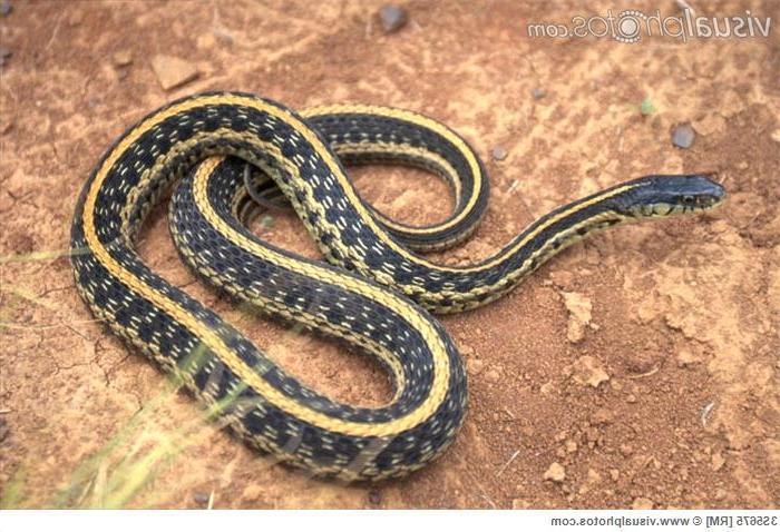 Texas Garden Snakes Photos