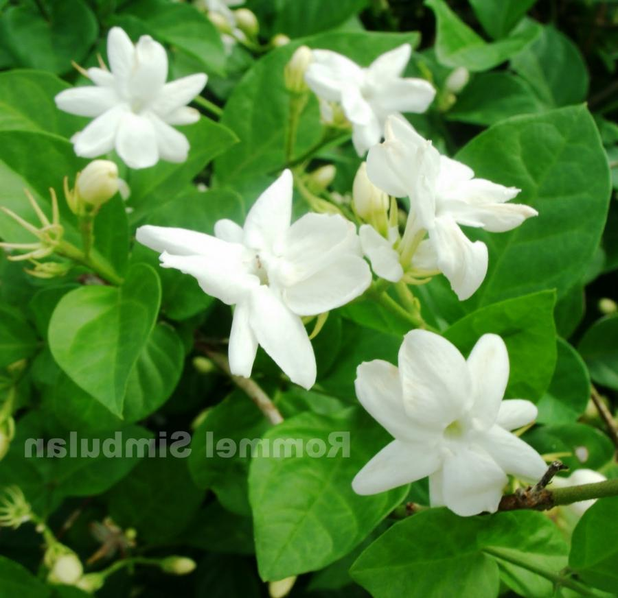 Sampaguita Flower Photo