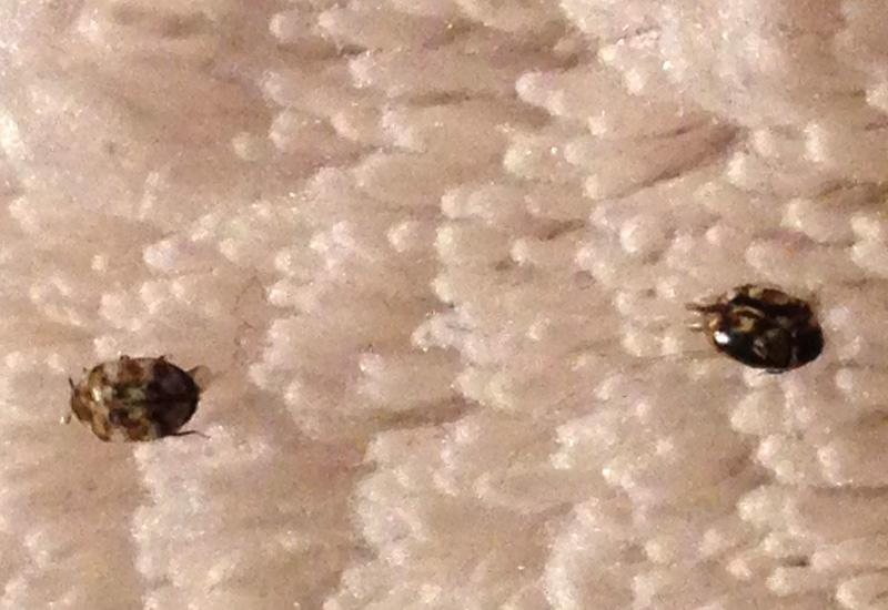 Black Carpet Beetle Photos