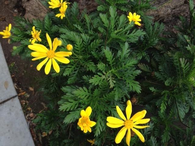 Yellow Daisy Like Flower Photos