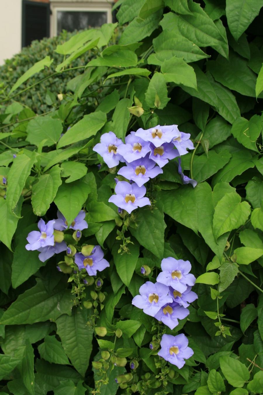 Blue Flower Vine Photos