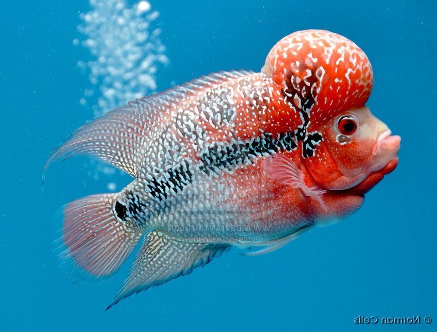 Flower horn fish photos for Flower horn fish