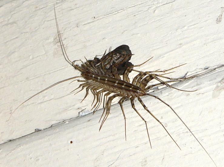 common house centipede photo. Black Bedroom Furniture Sets. Home Design Ideas