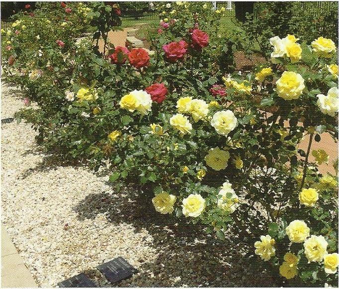 Photos Of Rose Gardens