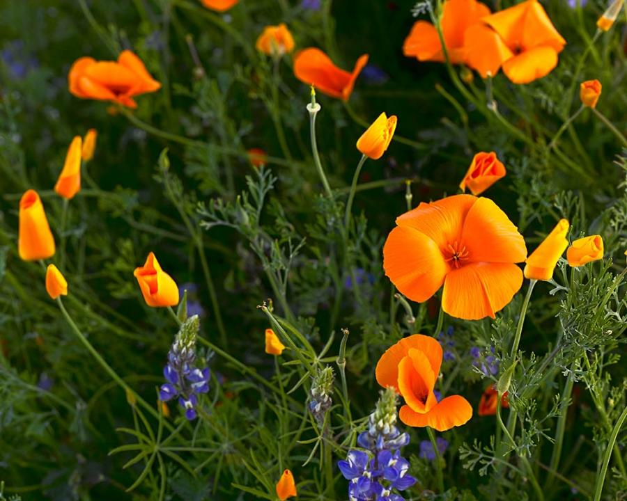 California poppy flower photo california poppy mightylinksfo