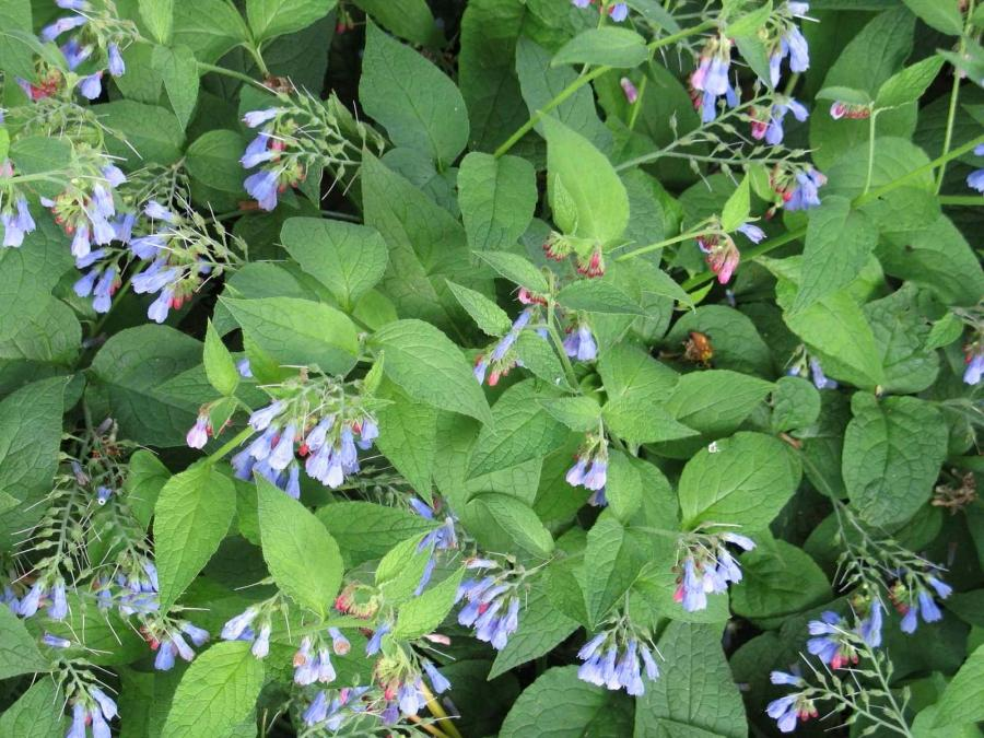 comfrey girls Consumer information about the medication comfrey (symphytum officinale) - topical , includes side effects, drug interactions, recommended dosages.