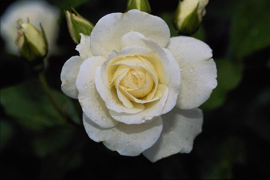 White Rose Flower Photo