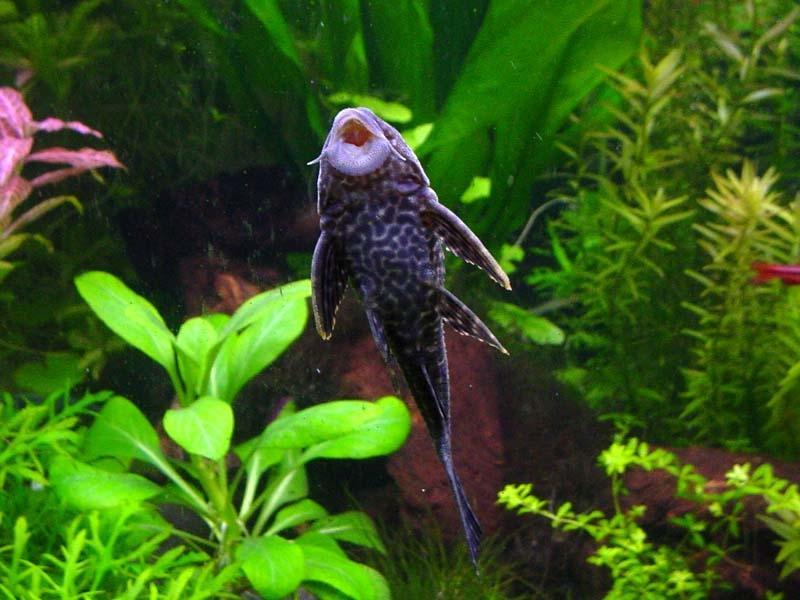 Aquarium fish profiles photos for Bottom feeder aquarium fish