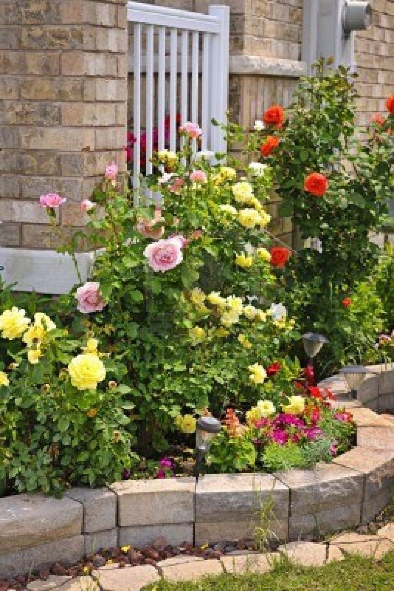 Бордюрная роза посадка и уход в домашних