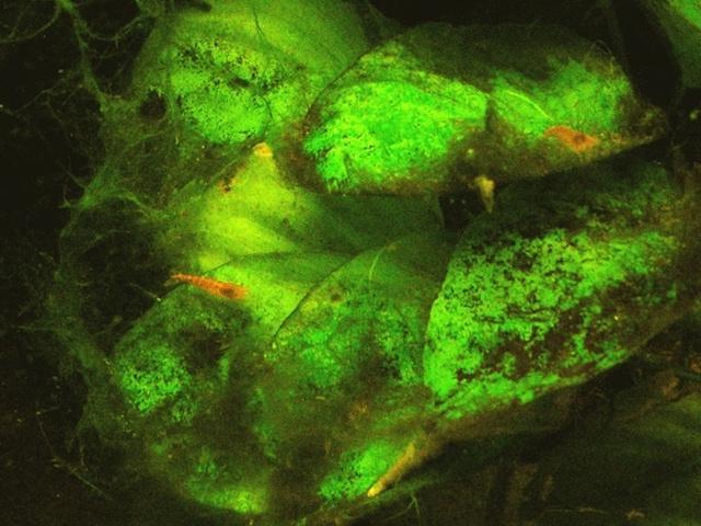 Aquarium algae photo picture for Red algae in fish tank