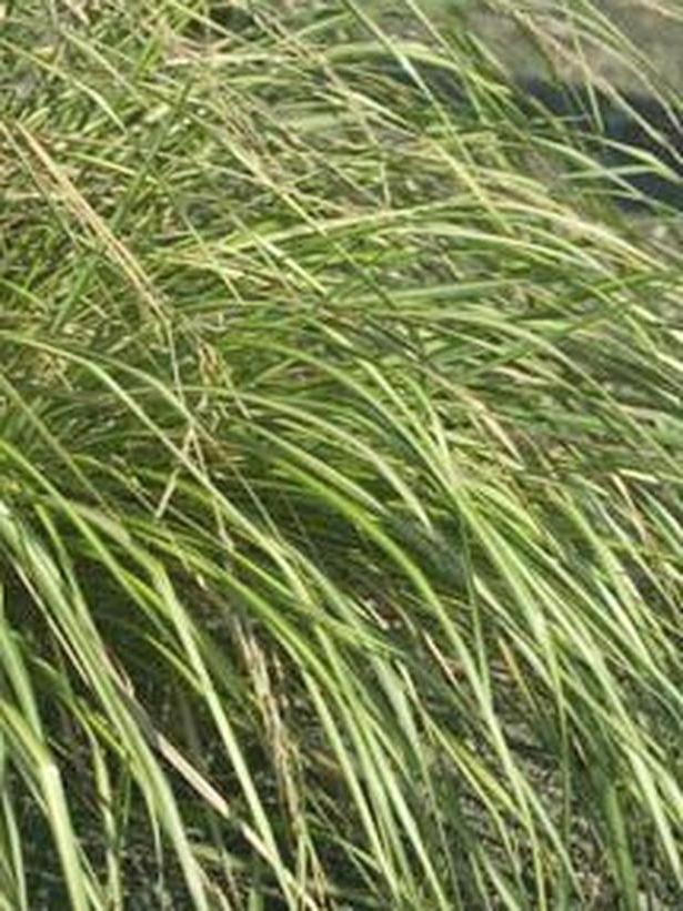 Garden grasses photos for Kinds of ornamental grasses