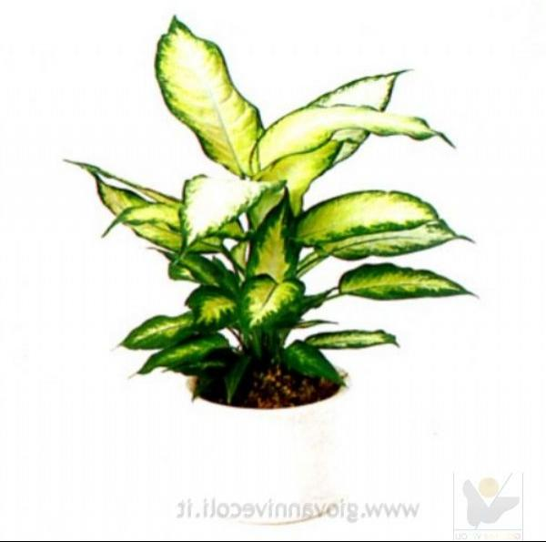 Variegated house plants photos - Suitable indoor plants ...