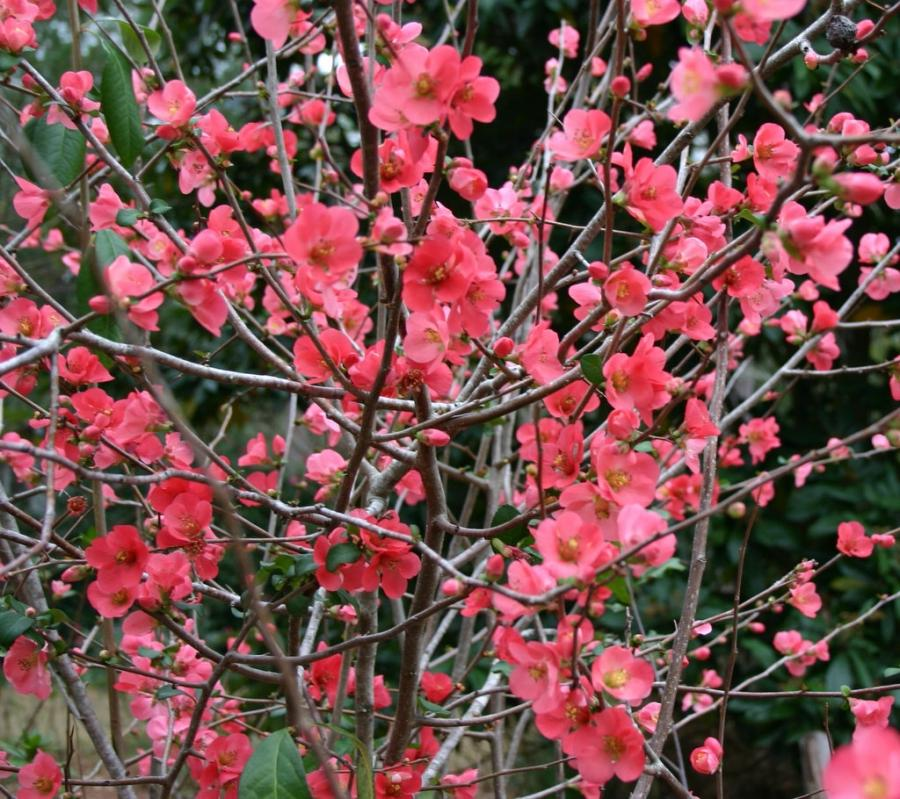 Shrub Photo White Pink Or Coral Flowers