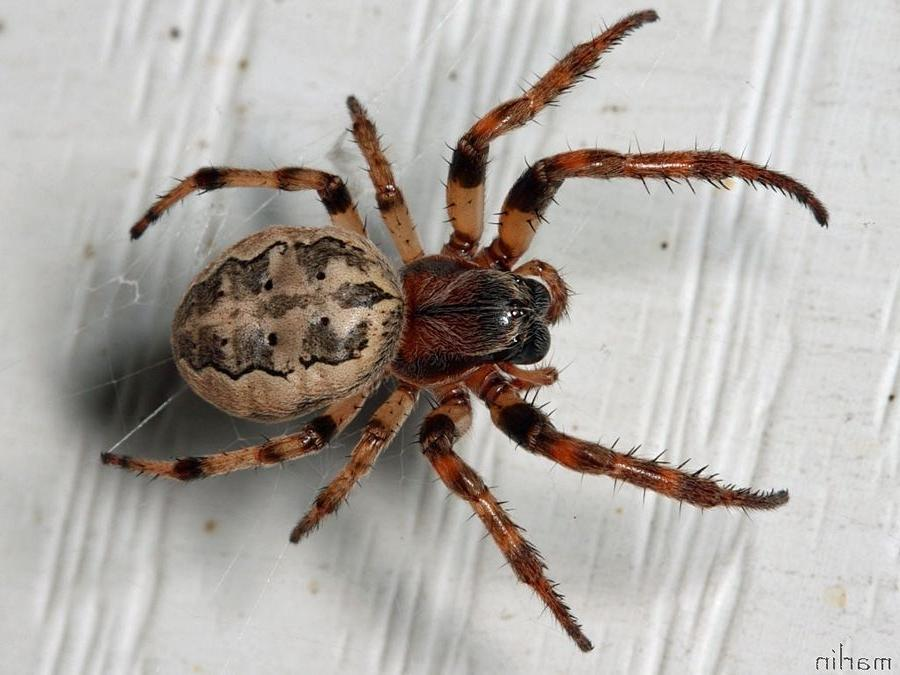 N Spiders American house spider ...