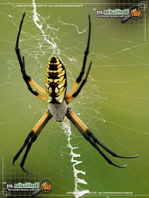 Nc Garden Spider Photo