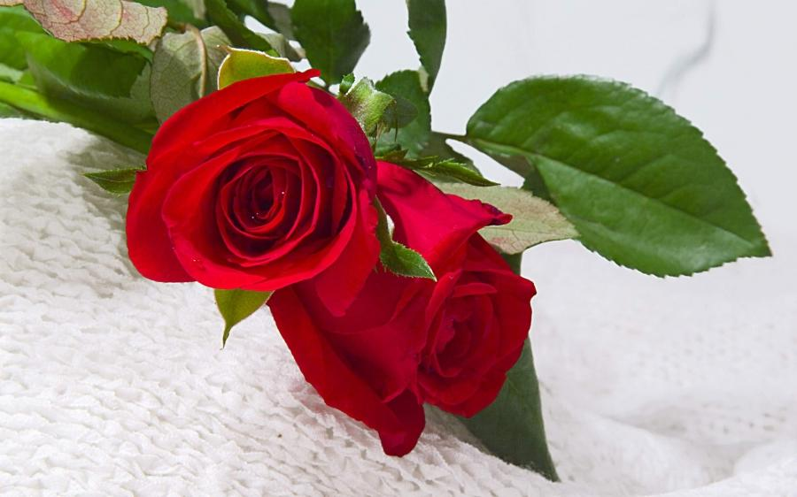 Nice Rose Flowers Photos