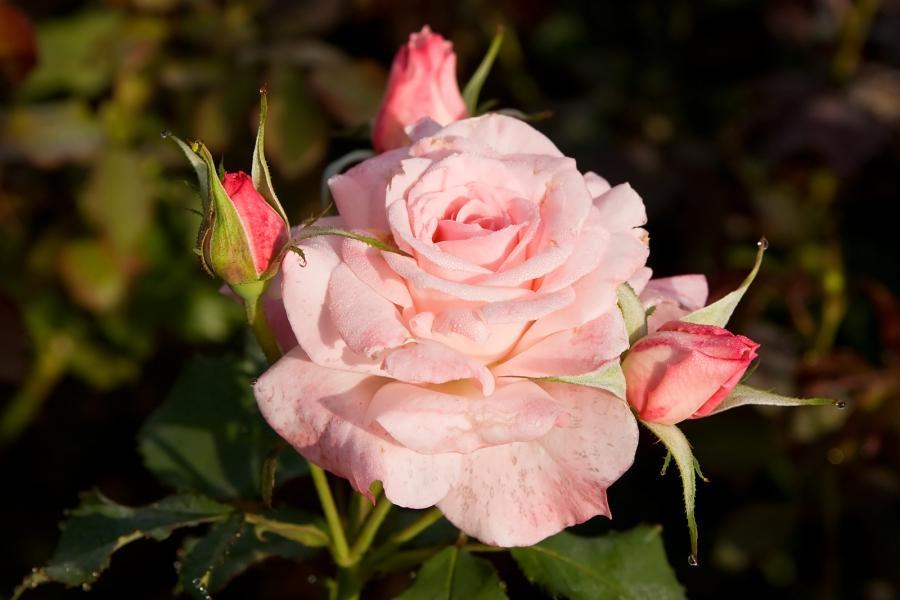 Simple Rose Garden: Photos Of Beautiful English Rose Gardens