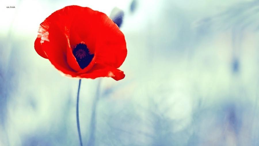 Poppy flower photography poppy flower wallpaper flower hd wallpaper 1920x1080 px mightylinksfo