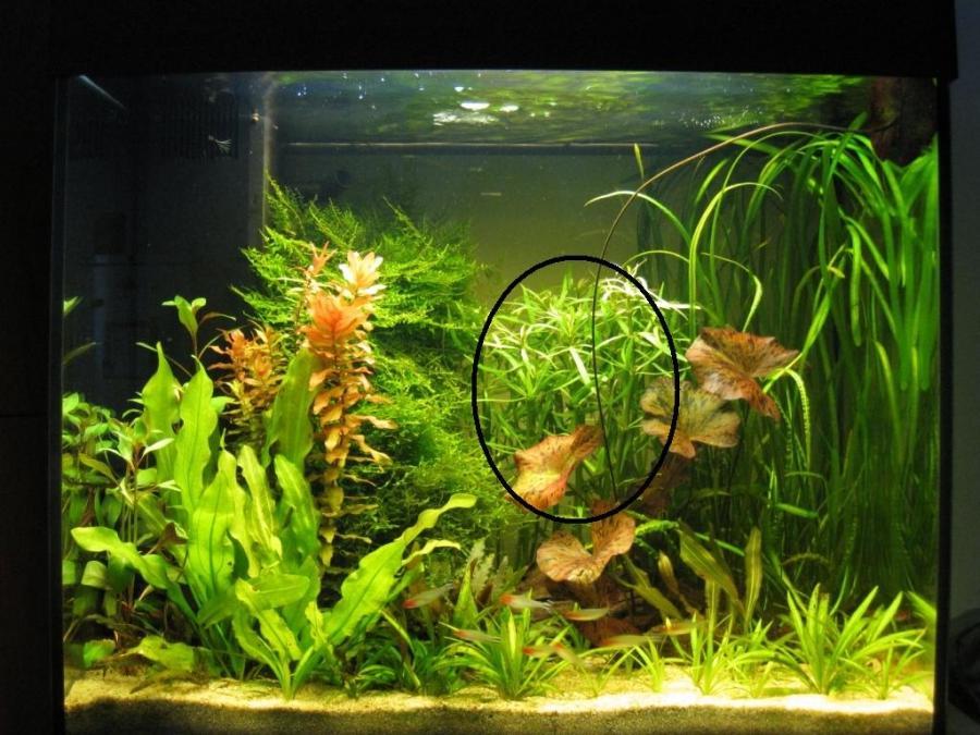 Photo plante aquarium eau douce for Eau douce aquarium