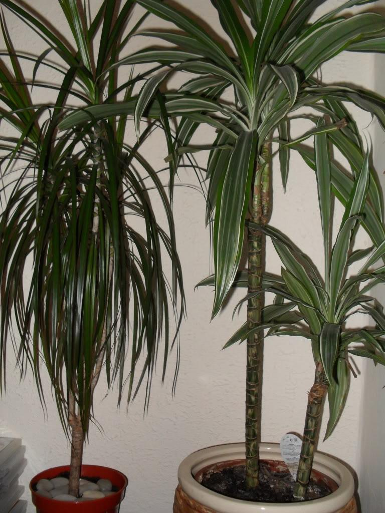 54d5bc2c1ff60386a5de2c0d1194df05 Palm Type Houseplants on palm fertilizer types, palm leaves types, palm plants types, ponytail palm types,