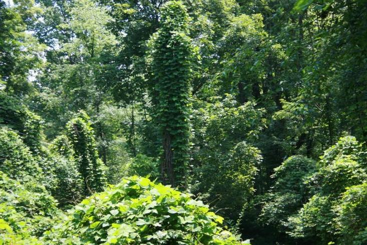 Above: The kudzu vine chokes forests, literally smothering trees...